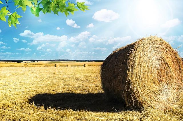 Il raccolto del grano